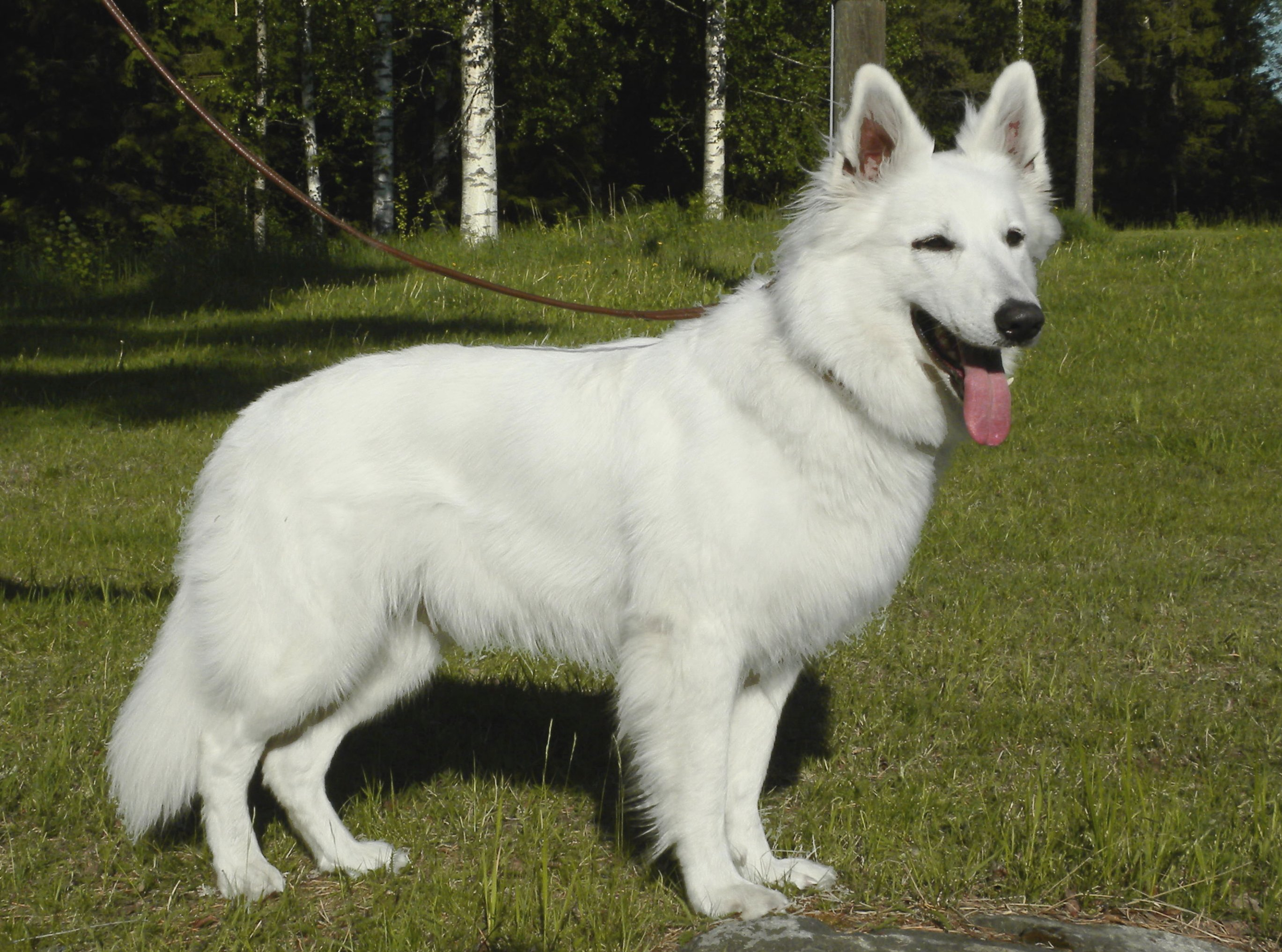 Siiri (kennel alpha grade sirius star)